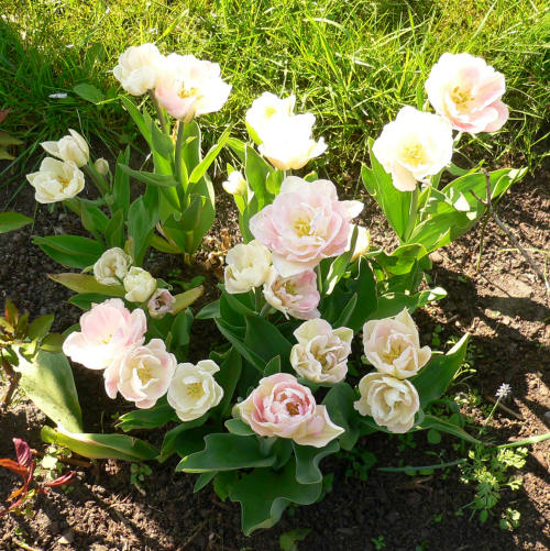 Baroque-Tulpen