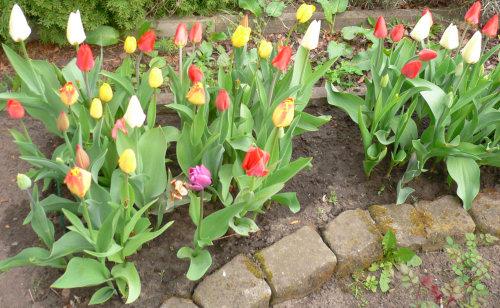 Amsterdamer Tulpen